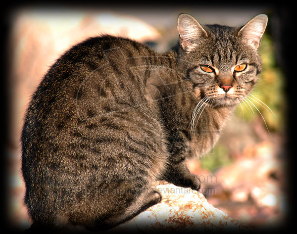 Image result for brown tabby with amber eyes